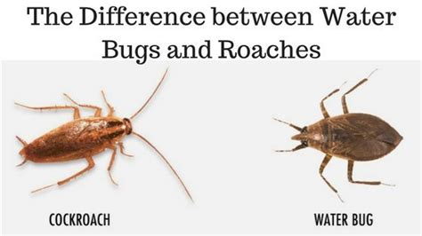 Schabe Kakerlake Unterschied by The Difference Between Water Bugs And Roaches Pest