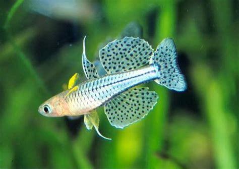 Hiasan Untuk Aquascape Rasbora Galaxy jenis jenis ikan penghuni aquascape kebunpedia