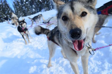 alaska puppies alaska sled adventures three top choices for visiting families ak on the go