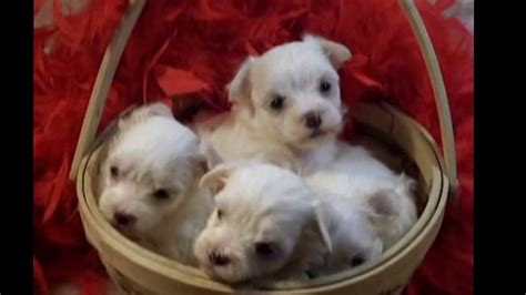 maltipoo puppies for sale florida teacup maltapoo tiny teacup maltipoo puppies for sale