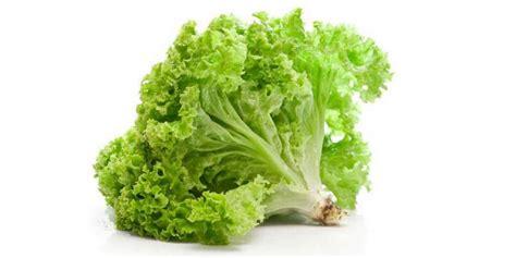 imagenes de lechugas verdes la lechuga toda las propiedades beneficios y usos
