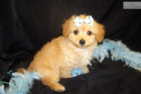 chi poodle lifespan chi poo breeds picture