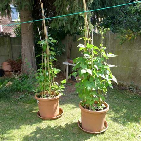 How To Make Kitchen Garden In Pots by Beans In Pots 183 Diary Of A Brussels Kitchen Garden