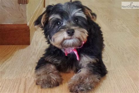 teacup yorkies for sale in st louis mo pin missouri yorkie puppies for sale terrier puppy breeder mo on