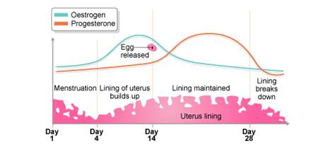 Menstrual Cycle After Cesarean Section by Gcse Bitesize Oestrogen And Progesterone Higher