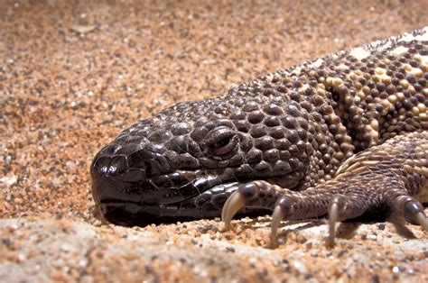 beaded lizard mexican beaded lizard redorbit