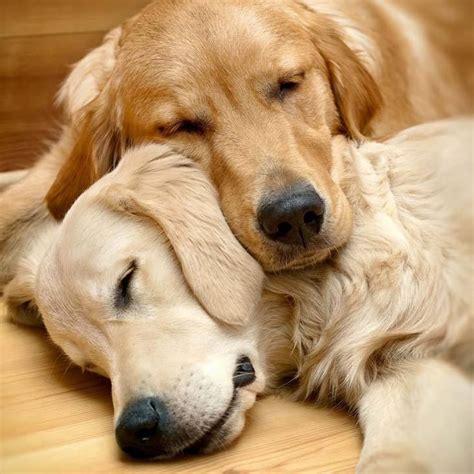 puppy names for golden retrievers best 25 golden retriever names ideas on puppy names a puppy and