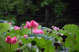 Lotus Naturals Free Photo Lotus Flowers Free Image On