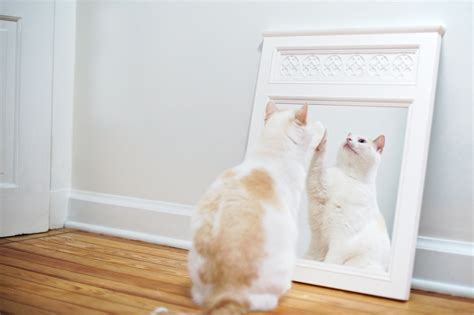 Cat Mirror cat reactions to mirrors and how to help