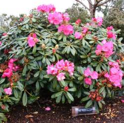 bulletproof rhododendrons rhodies for sea coast wind and other tough conditions shrub