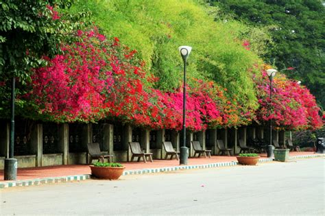 Lalbagh Botanical Gardens Bougainvillea Lalbagh Botanical Gardens Bangalore Photo Karthik Raja Photos At Pbase