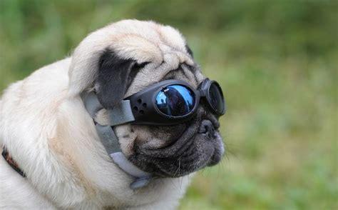 pugs sunglasses the great pug race pug sunglasses and e
