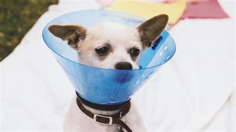 cone for dogs after surgery the cone breeds picture