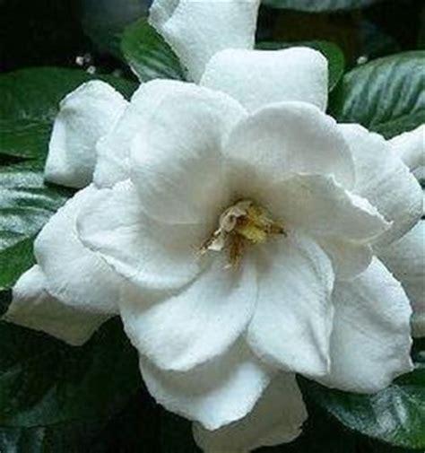 gardenia in vaso gardenia in vaso domande e risposte piante appartamento