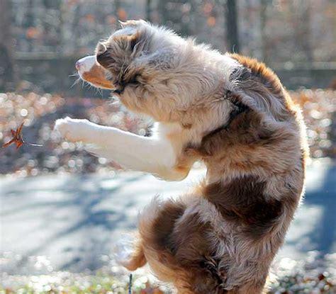 willebrand disease in dogs willebrand s disease in australian shepherds