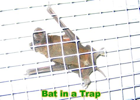 Bat Trap One Way Door by Bat Trap How To Trap Bats In A House Attic Building