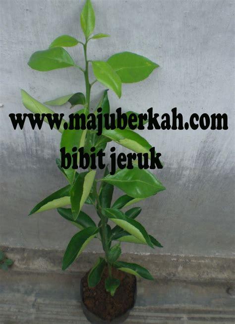 Jual Bibit Durian Bawor Purworejo bibit gowok bibit tanaman gowok jual bibit tanaman gowok