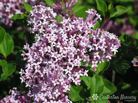 lilac bush korean lilac bush www pixshark com images galleries