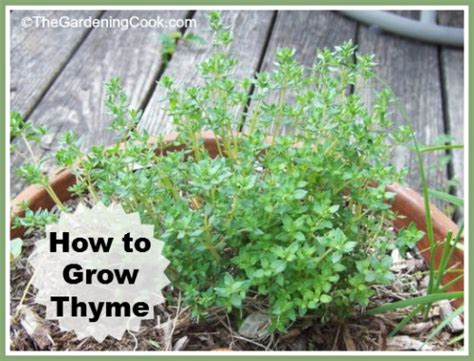 how to grow a herb garden growing thyme fragrant herb how to grow the
