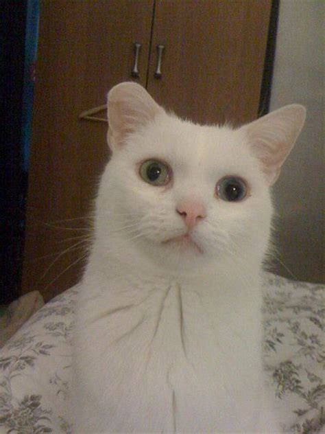 white cat with odd eyes file deaf white cat with odd coloured eyes jpg wikimedia