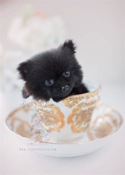 black teacup pomeranian puppies teacup black pomeranian puppies www pixshark images galleries with a bite