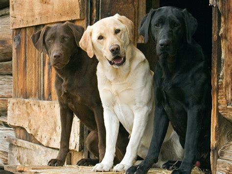 different colored golden retrievers top 12 cutest breeds list listovative