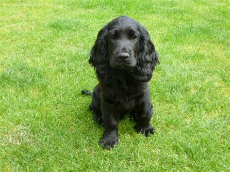 Stunning Black Cocker Spaniel Puppy For Sale   Westbury