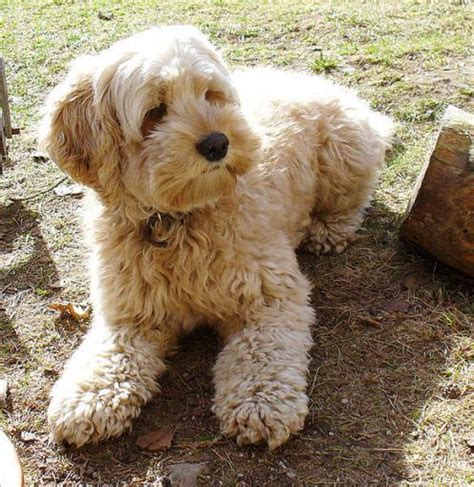 cockapoo pug mix post pics of your favorite breeds or mixes