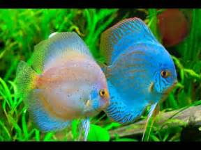 All Beautiful and Colorful Discus Fish Species