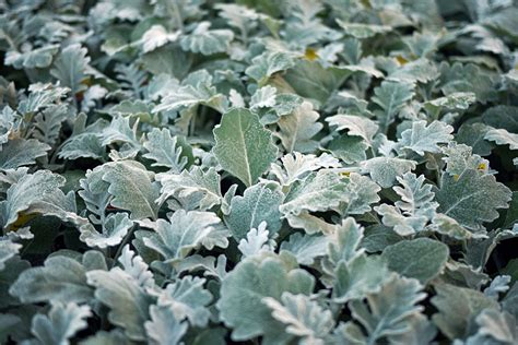 187 there is a plant called dusty miller