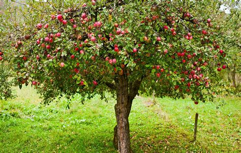 6 tips for growing organic apples at home rodale s organic life