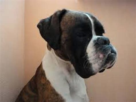boxer facts 10 facts about boxers fact file