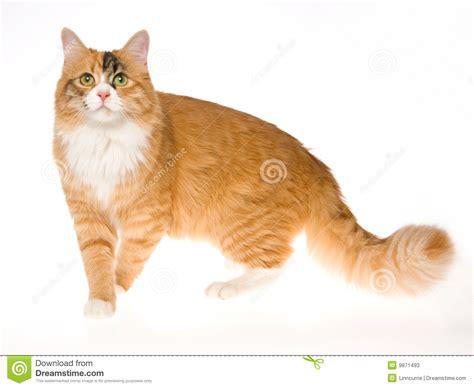Beautiful Calico Cat On White Background Stock Image