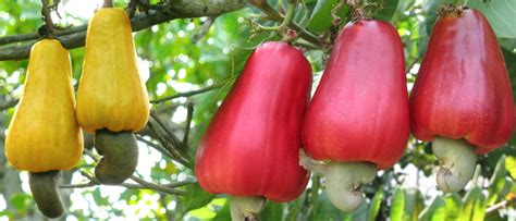 cashew nut fruit tree cashewnuts vitamin pills the nuts for
