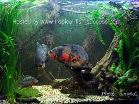 Aquascape Filters Oscar Fish Pictures Tropical Fish Success