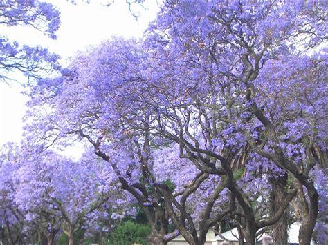imagenes de flores jacaranda la flor del jacaranda wmv youtube
