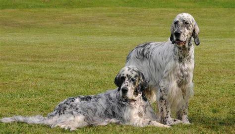 english setter girl dog names english setter dog breed standards