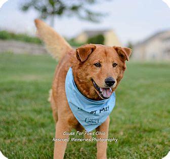 golden retriever rescue ohio columbus columbus oh golden retriever chow chow mix meet buddy a for adoption