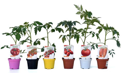 piante di pomodori in vaso piante di pomodoro datterino capriccio f1 in vaso 10 cm