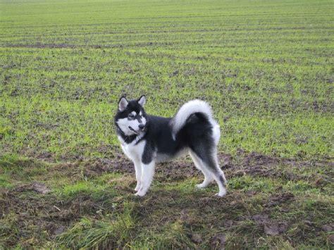 阿拉斯加雪橇犬图片第1338张_阿拉斯加雪橇犬图片 - 中国名犬网