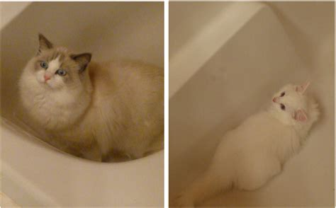 cats in bathtubs pictures of ragdoll cats in bathtubs