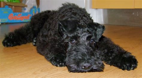 kerry blue terrier puppies saved by dogs kerry blue terrier