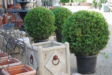 siepi sempreverdi da vaso piante da vaso sempreverdi piante da terrazzo piante