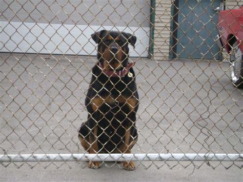 junkyard dogs rochestersubway ban on the lot rochester s junkyard dogs