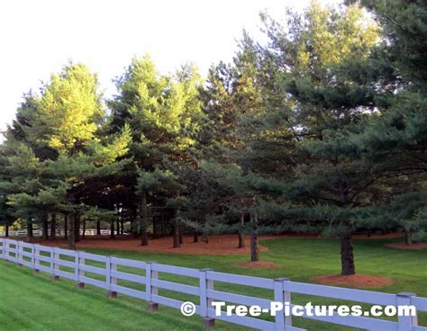 white pine picture image photo of pine tree landscaping