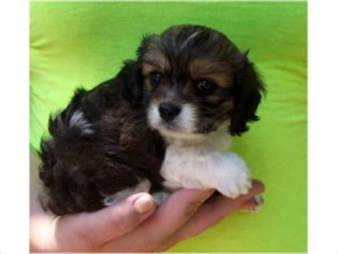 cocker spaniel pomeranian pomeranian cocker spaniel mix puppies for adoption opelika al asnclassifieds