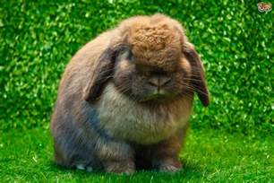 kaninchen haus best house rabbit breeds on the planet pets4homes