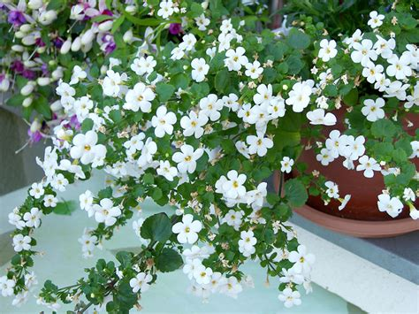 the pretty petunias bacopa a lovely addition to your
