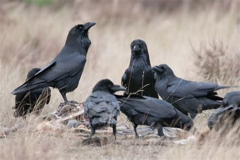 best 28 a flock of ravens is called 1000 ideas about