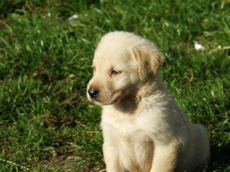 lab golden retriever puppies yellow lab vs golden retriever puppies